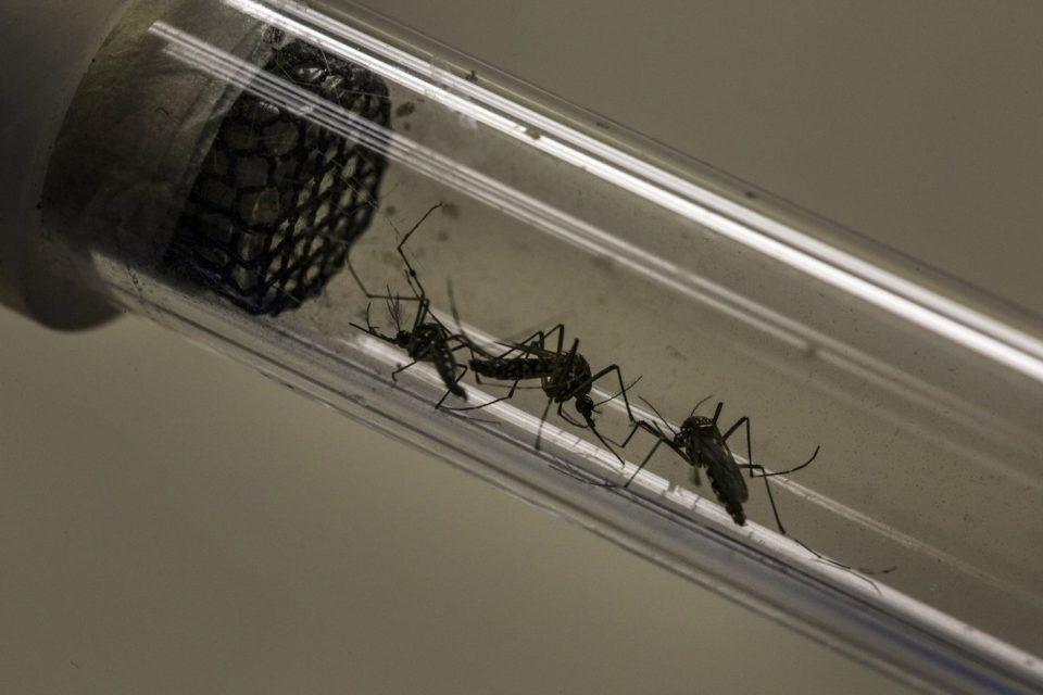 Así son los mosquitos modificados genéticamente que financió Bill Gates